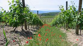Weißweine aus dem Languedoc