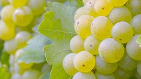 Weißwein-Rebsorten