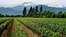 Weißweine aus Chile