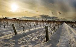 Kanadische Weißweine