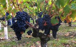 Bordeaux Medoc